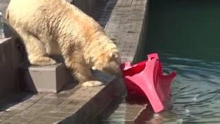 Вот покушали - можно и поиграть) Полярные медведи. Новосибирский зоопарк. 22.05.2016