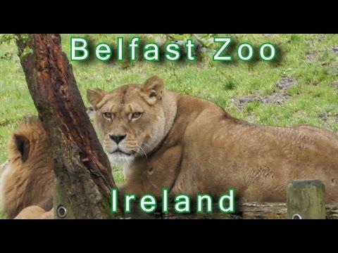 BELFAST ZOO - Amazing Animals at Belfast Zoo