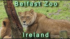 BELFAST ZOO - Amazing Animals at Belfast Zoo