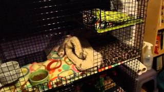 Ferret owning tips: How to prevent out-of-cage litter box