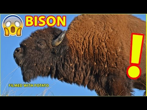 Bison Swim Across Yellowstone River (Video Filmed with Potato)