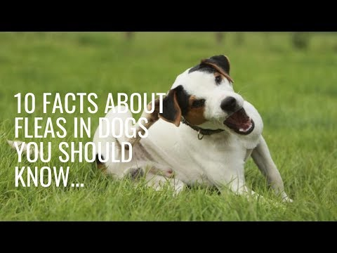 10 Facts About Fleas in Dogs You Should Know