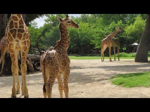 Meet the Newborn Giraffe Whose Birth Wasn't Livestreamed