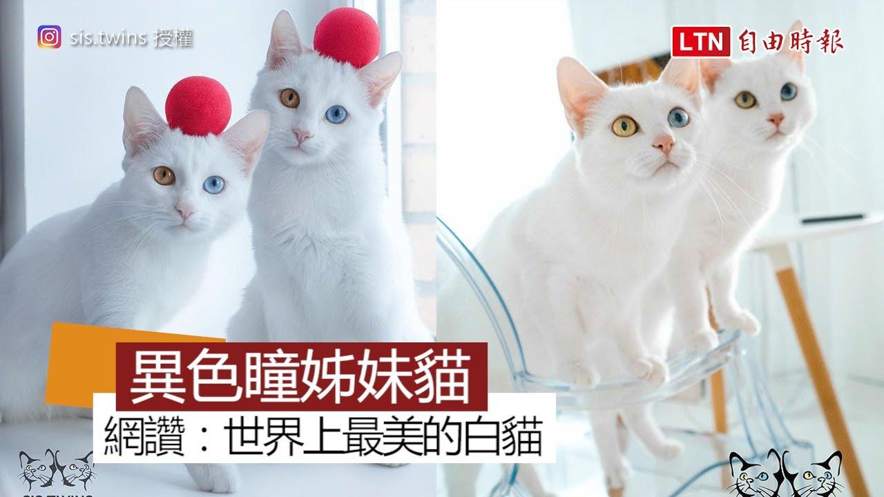世界最美的異色瞳白貓姊妹花 網友:「可以看一輩子!」