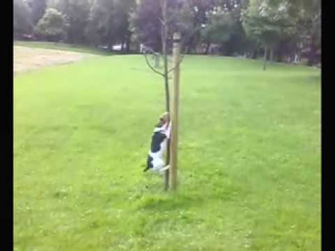 Crazy jack russell terrier dog youtube - Jack russel queue coupee ...