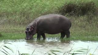 The Hippos of Saint Lucia (South Africa)