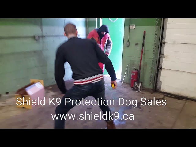 Trained German Shepherd ATTACKS intruder