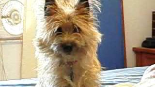 Dog Tv With Chewy The Cairn Terrier