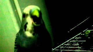 Как определить пол попугая.