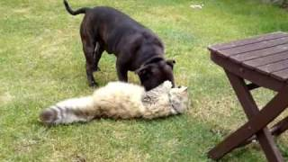 Schumacher And_gizmo. Staffordshire Bull Terrier V's Cat Fight Till The Death
