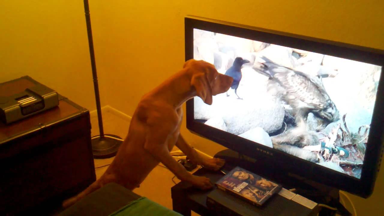 Resultado de imagen para vizsla dog, watching tv