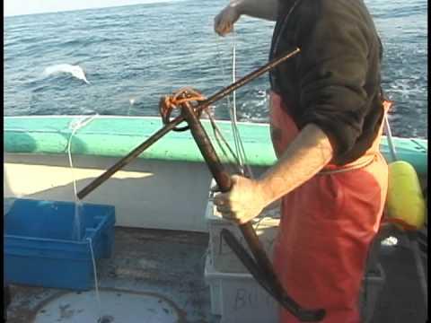 Releasing Sub-legal Atlantic Cod In The Demersal Longline Fishery