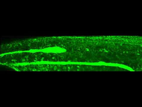 Overview Of Lateral Line Migration In Zebrafish