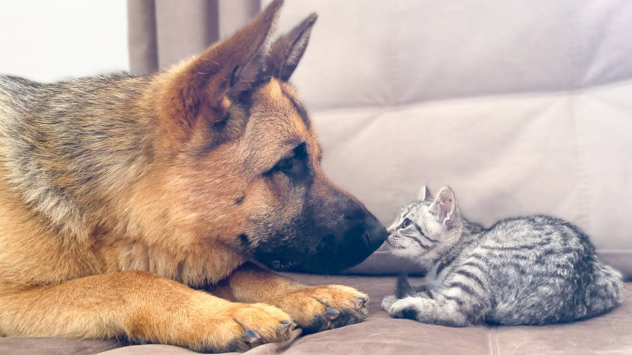 German Shepherd trying to play with baby Kitten
