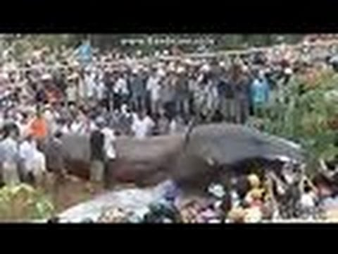 World's biggest snake found in Amazon river - Biggest python snake - Giant anaconda Largest snake
