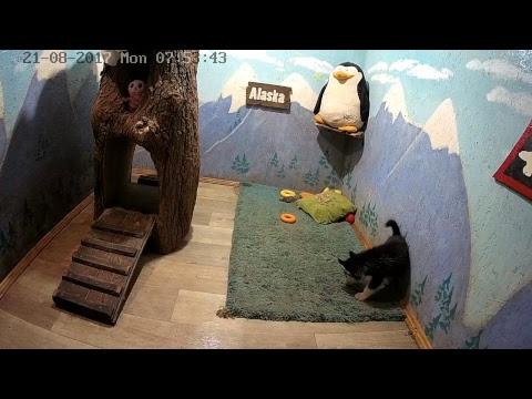 Хасята онлайн.  Сезон 3 'Хаскопокалипсис'  Husky online husky puppies