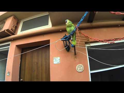 pappagallo parlante- amazzone fronte blu