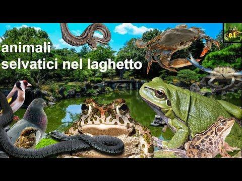 gli animali selvatici del laghetto youtube