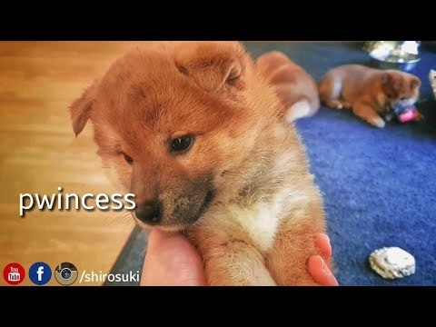 My life is potato. Ep 20 / Shiba Inu puppies / bamboozles