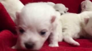 6月20日産まれの日本スピッツ仔犬です 全国優良ブリーダーの子犬紹介サ...