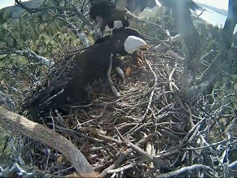 Big Bear Eagle Cam ~ STORMY CRASH LANDS ON DAD W/ SLO MO 5.11.18 ...