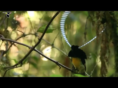 Birds of paradise project introduction beautiful birds hd youtube - Hd images of birds of paradise ...