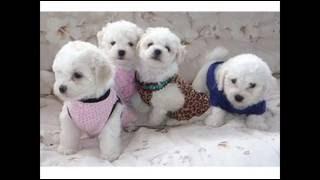 Собаки Болоньезе