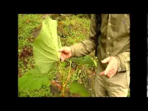 Panama Medicinal Plants Craig Allison