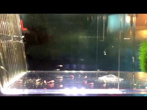 Glofish Fry