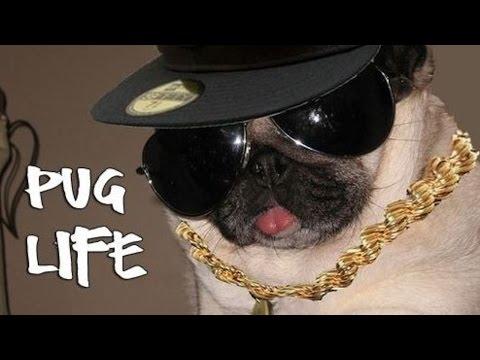 Pug Thug Life (Vines) 2017