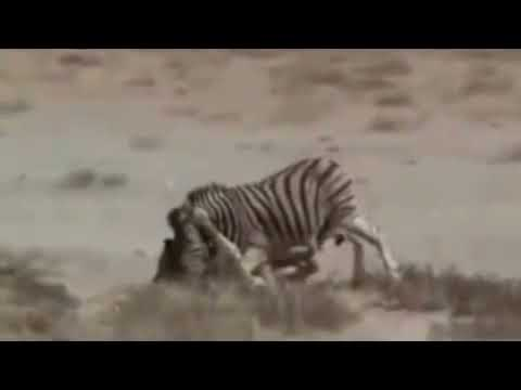 Download Powerful Zebra Kick Kills Lion. A real fight in the wild.