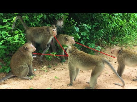 Have a look Two Monkey Fighting to Control this group but can not win. -  Angkor Daily 412