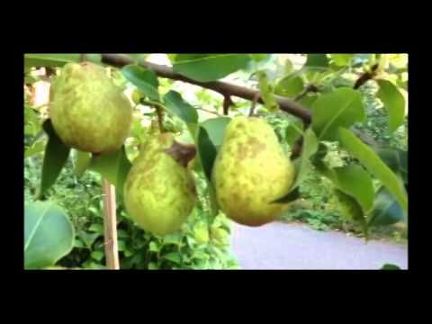 Know When To Pick Kieffer Pears