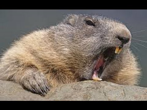 Hairy beaver photos