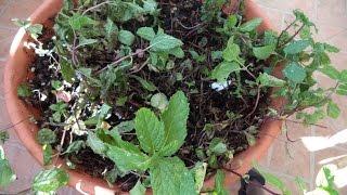 si las hojas de tus plantas se las están comiendo mira este vídeo