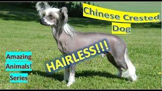 Chinese Crested Dog | Amazing Animals | Pet Dogs
