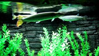 Какие-то щучки и сомики (шанхайский океанариум, 2010)(, 2011-01-31T15:59:02.000Z)