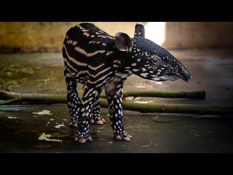 شاهد: أنثى تابير مهددة بالانقراض تضع مولودها الثالث في بلجيكا…  - نشر قبل 2 ساعة