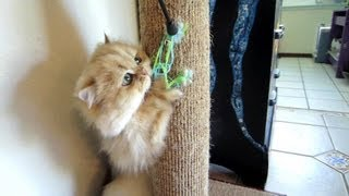 13 04 15 Persian kitty, Sahara, on the scratching post