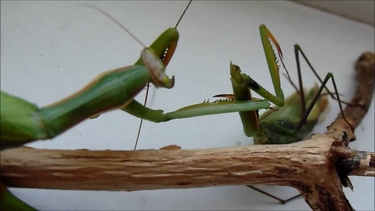 Aninimal Book: How the female praying mantis eats the male mantis - YouTube