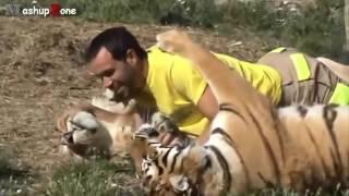Тигры, львы и гепарды любят ласку  Подборка больших кошек
