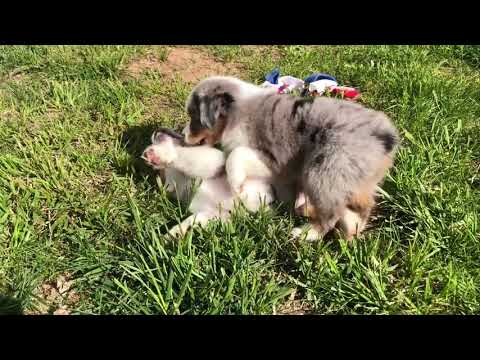 Toy Australian Shepherd puppies for sale| Bliss litter| COLOR COUNTRY AUSSIES