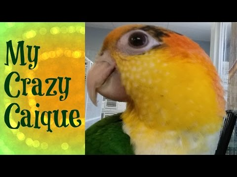 He is so SILLY! White Bellied Caique 3 months old.