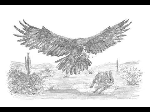 Special Drawing: Golden Eagle Hunting a Rabbit!