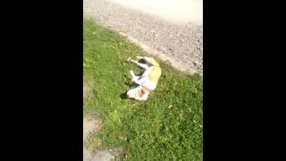 Собака кайфует от травки)