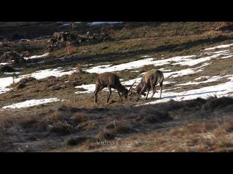 Jeleni v březnu - video Čergov