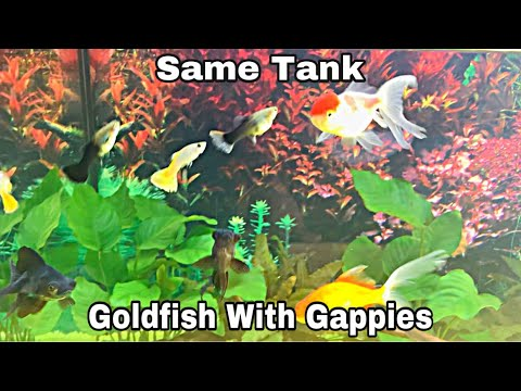 Goldfish With Guppies Same  Tank | Living Together