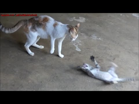 Cat attacking kitten / Angry cat scares kitten