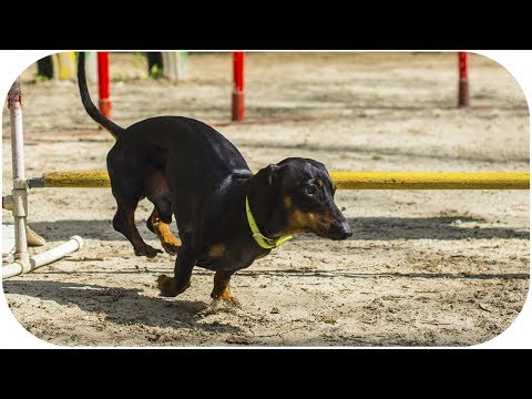 Dachshund agility training