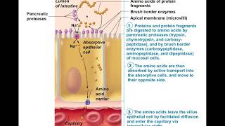 Chapter 23 Digestive System Part6